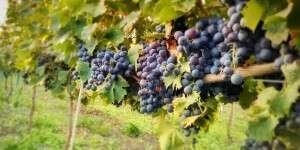Uva Nero di Troia Cantine Losito Terre del Gargano Puglia