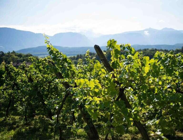 Vitigno Resistente - Trentino