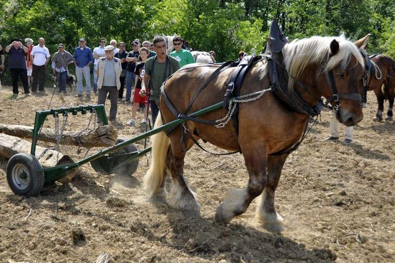 Titouan il cavallo che lavora la terra a Tassarolo