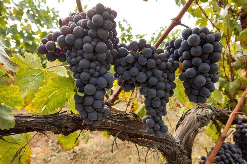 Grappolo di uva nera in vigneto