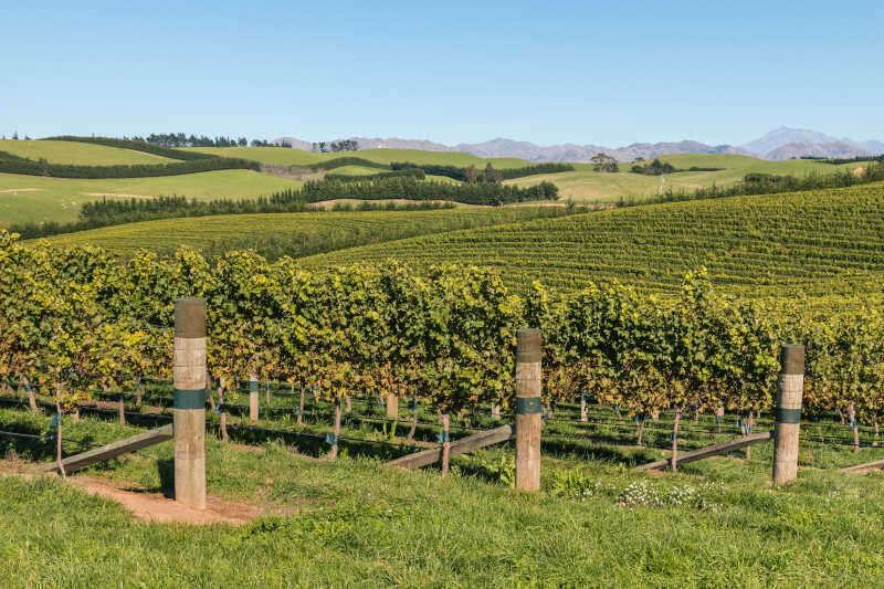 Vigne Sauvignon Blanc nella regione di Marlborough in Nuova Zelanda