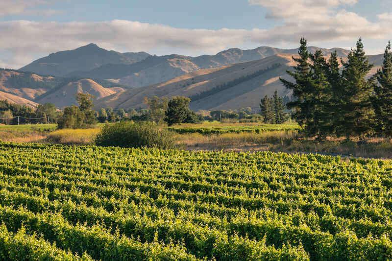 Wither Hills nella regione di Marlborough in Nuova Zelanda con vigneto al tramonto