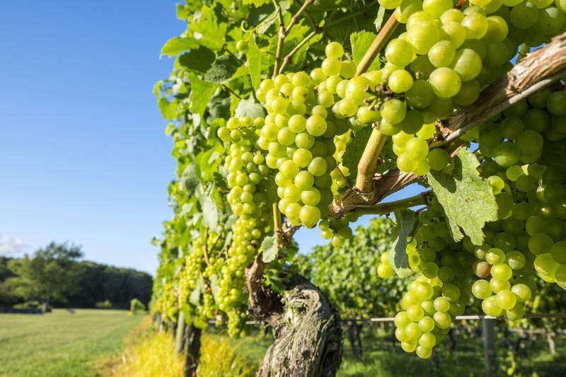 Uva Chardonnay in Vigna