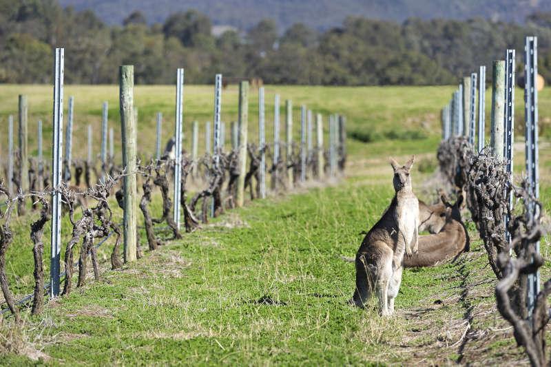 Canguri tra i Vigneti in Australia