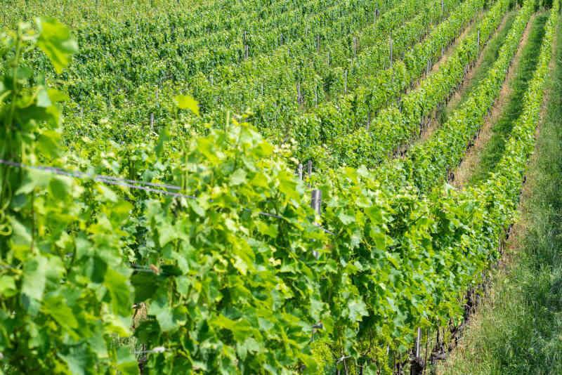 Filari di uva Chasselas nei vigneti di Lavaux Vaud