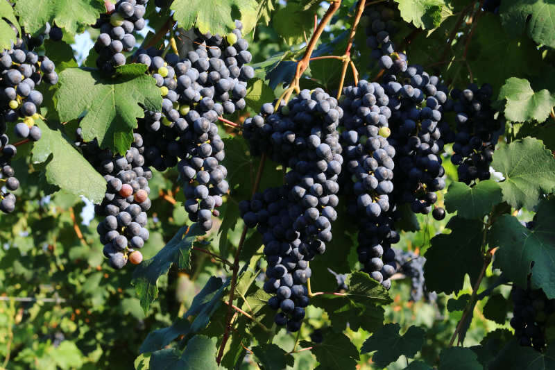 Uva Lambrusco - Abbinamento Vino con Zucca