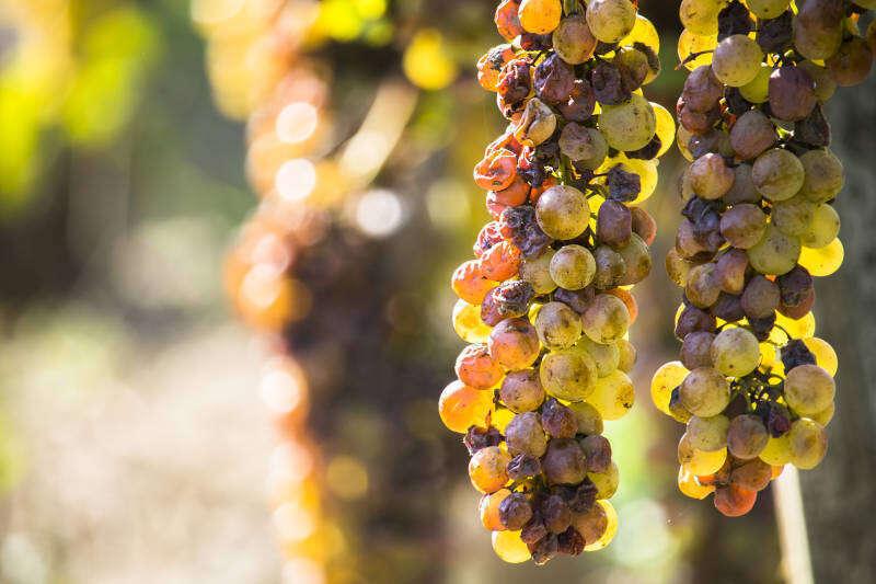 Uva colpita da Botrytis Cinerea