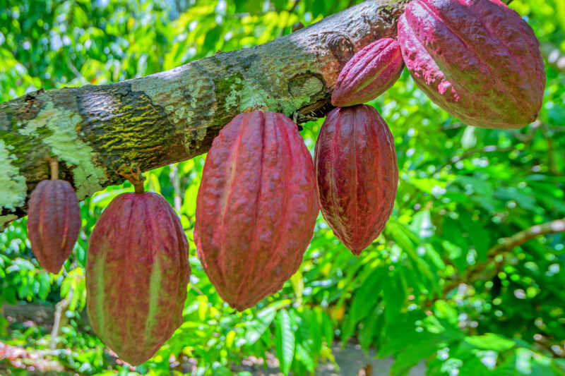 Albero di cacao (Theobroma cacao). Baccelli di cacao