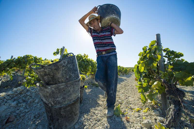 Raccolta manuale delle uve a bacca bianca a Jerez de la frontera