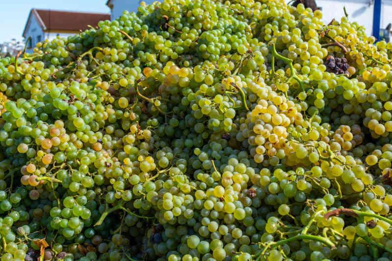 Raccolto di uva Pedro Ximenez nella regione di Montilla-Moriles