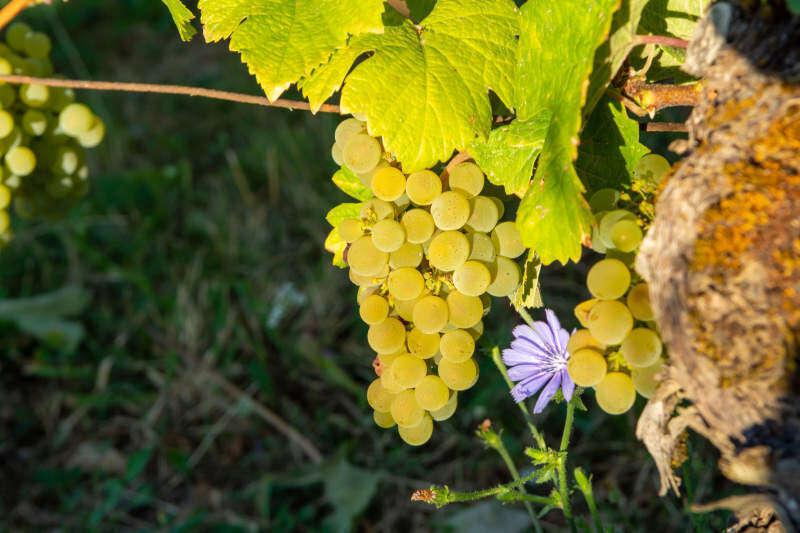Uva bianca Savagnin pronta per la raccolta