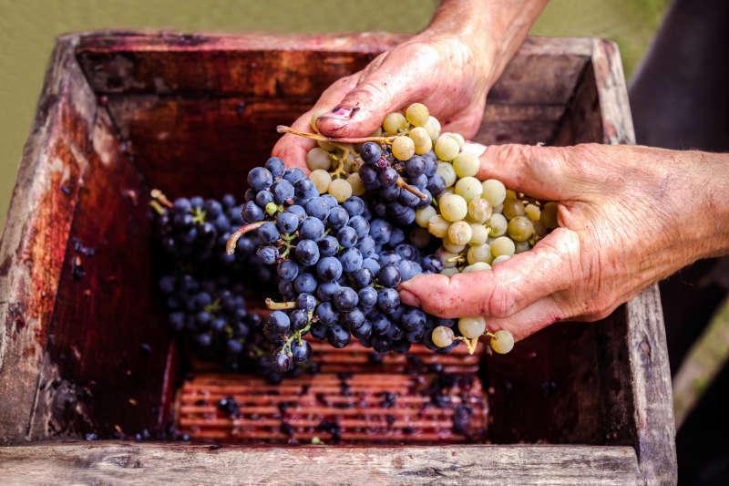Vecchia pressa manuale per l'uva