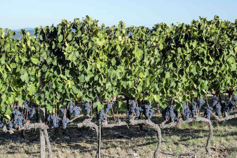 Filari di uve Sangiovese a Montalcino in Toscana nel mese di settembre