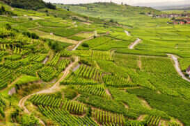 Route des Vins, la Strada del Vino in Alsazia