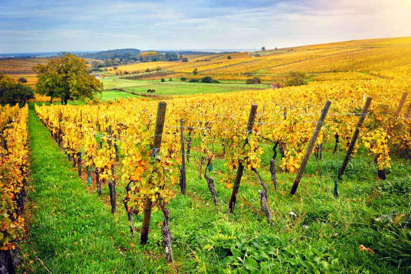 Paesaggio con vigneti autunnali della strada del vino in Alsazia