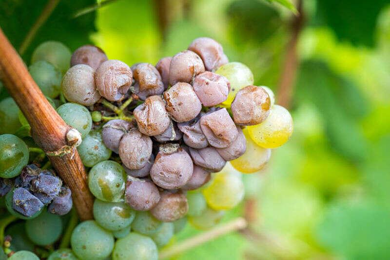 Uve colpite da Botrytis utilizzata per produrre vini muffati