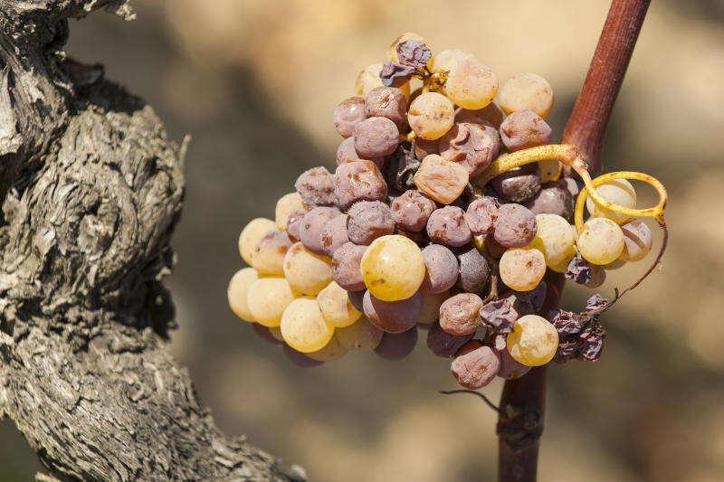 Uva con muffa nobile per il Sauternes