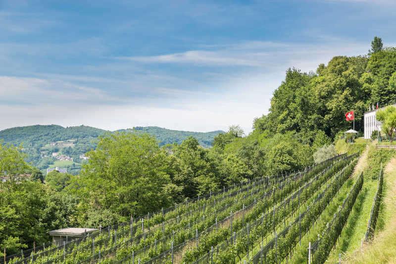 Vigneto di Merlot in Svizzera, sulle colline sopra Chiasso in Canton Ticino