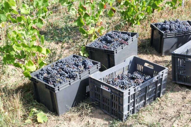 Raccolta delle uve per fare Vino Novello